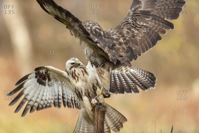 Two juvenile hawks fighting over a piece of food