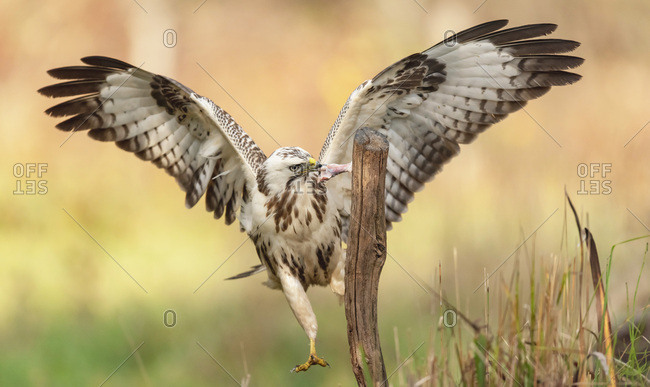 Juvenile hawk with wings spread feeding on a piece of meat