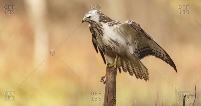 Juvenile hawk perched on a branch and holding a piece of food in its claw