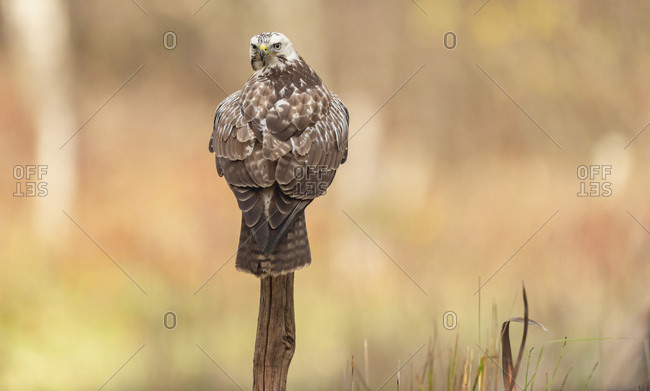 Hawk looking behind while perched on a branch