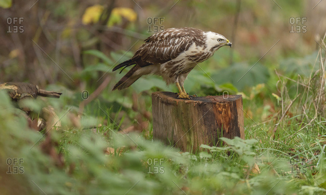 Juvenile hawk with ruffled feathers perched on a tree stump in the forest