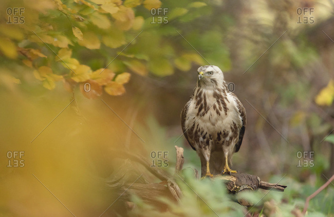 Immature hawk perched on a tree branch in the forest