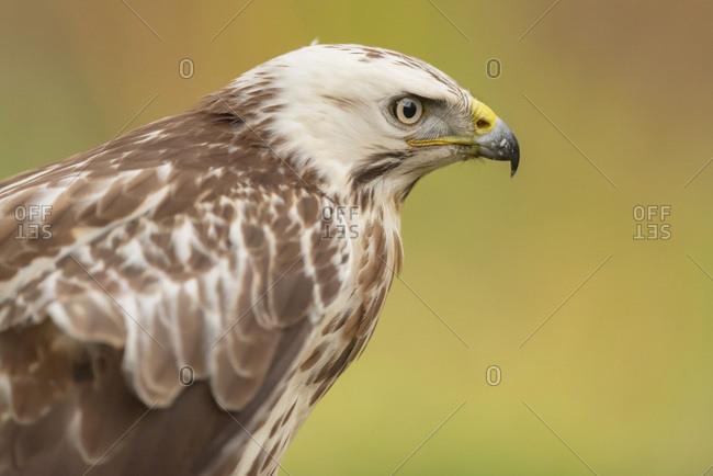 Portrait of a juvenile hawk