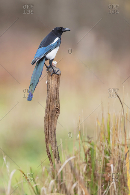Magpie perched on a tree stump with a piece of food
