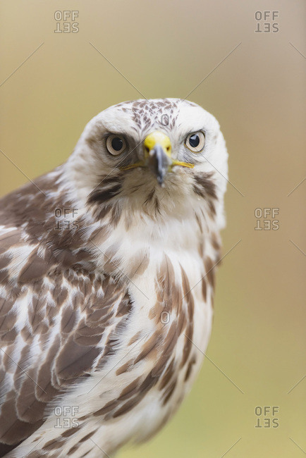 Portrait of a juvenile hawk looking ahead