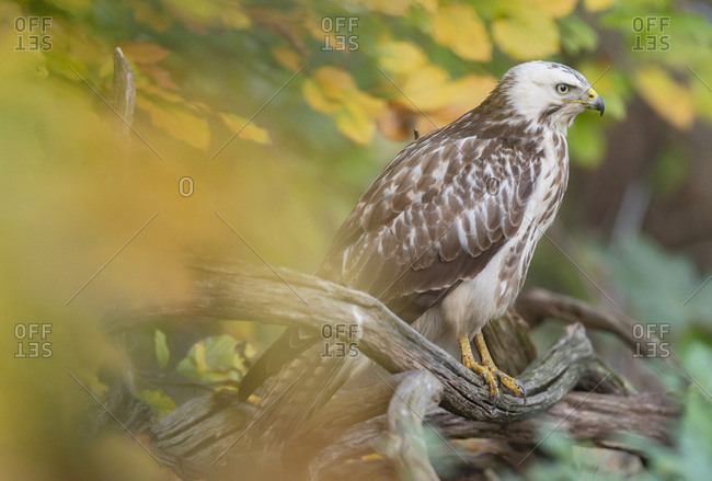 Hawk perched on a tree branch in the forest