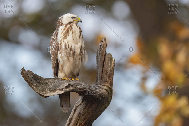 Young hawk perched on a gnarled tree branch