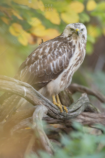 Young hawk perched on a branch in the woods