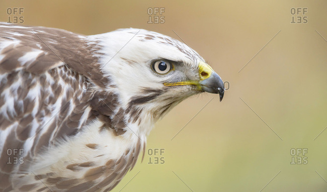 Portrait of a young hawk