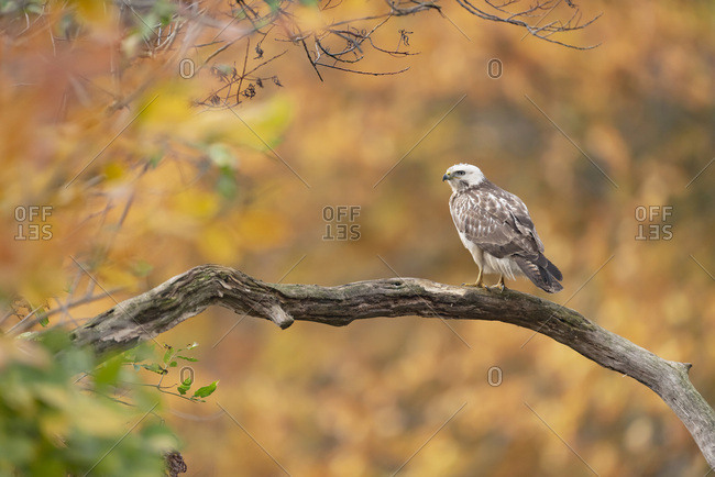Immature hawk perched on a tree branch in a woodland environment