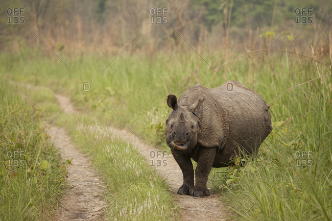 Single Horn Black Rhino Cow Stares Down Visitors on Nepal Roadway