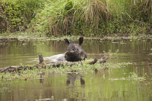 Single Horn Black Nepal Rhino Soaks in Waterway