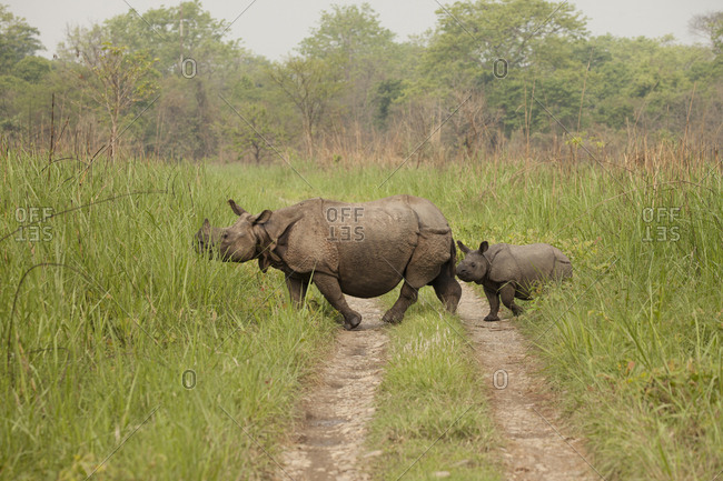 Rhino Cow Allows Her Offspring to Cross Nepal Roadway