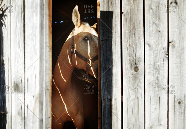 Horse looking out the wooden stable