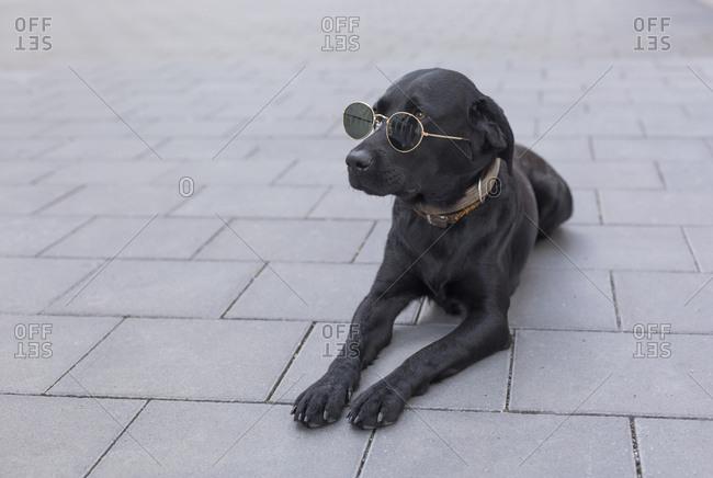 Black dog lying on pavement wearing sunglasses