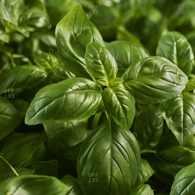 Basil leaves- close-up