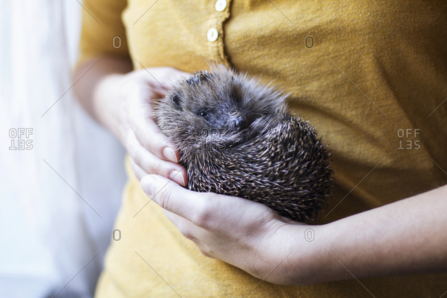 Woman's hands holding rolled up hedgehog
