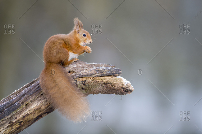 Portrait of eating Eurasian red squirrel crouching on tree trunk in winter