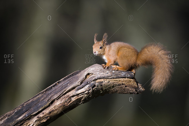 Portrait of Eurasian red squirrel on tree trunk