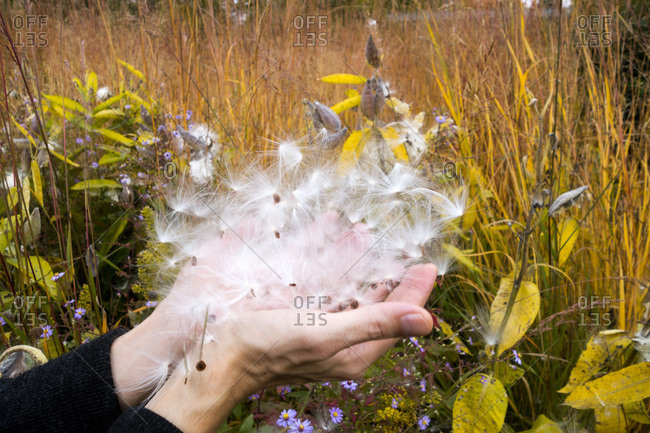 Germany- hands of man holding seed of Showy Milkweed in botanical garden in autumn