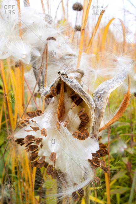 Germany- Showy Milkweed in botanical garden in autumn
