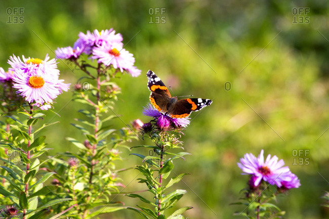 Peacock butterfly sitting on blossom of pink aster