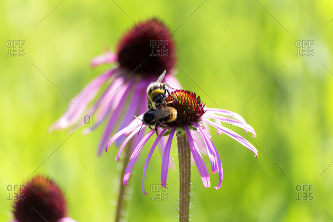 Botanic Garden- honeybees on purple coneflower