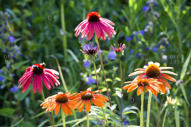 Botanic Garden- honeybees on coneflowers