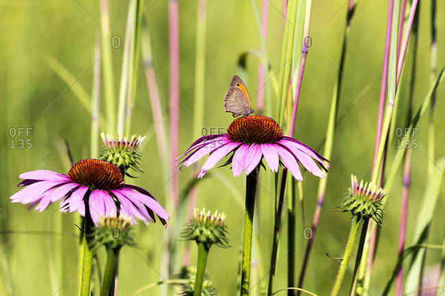 Botanic Garden- Butterfly on purple coneflower