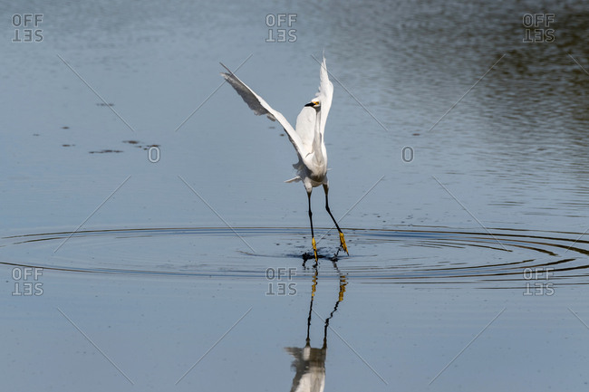 Great Egret wading gracefully in a lake