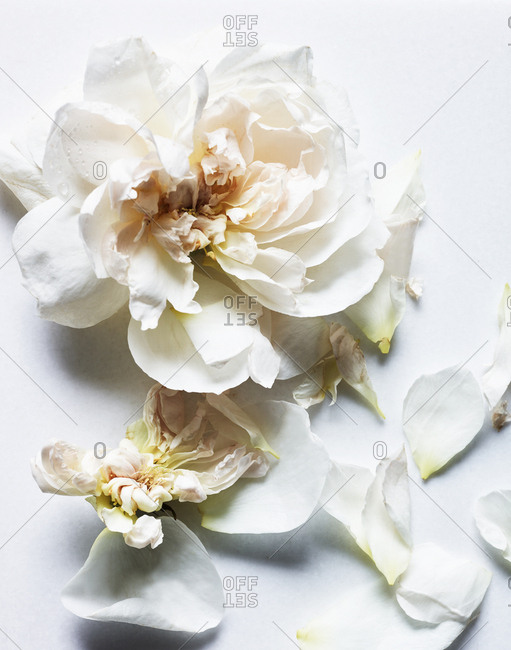 White roses on white background