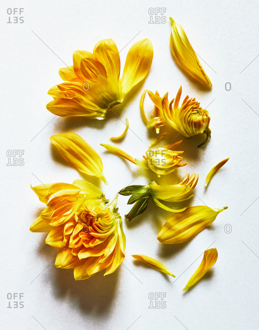 Yellow flower and petals on white background