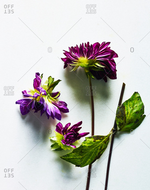 Purple flower and petals on white background