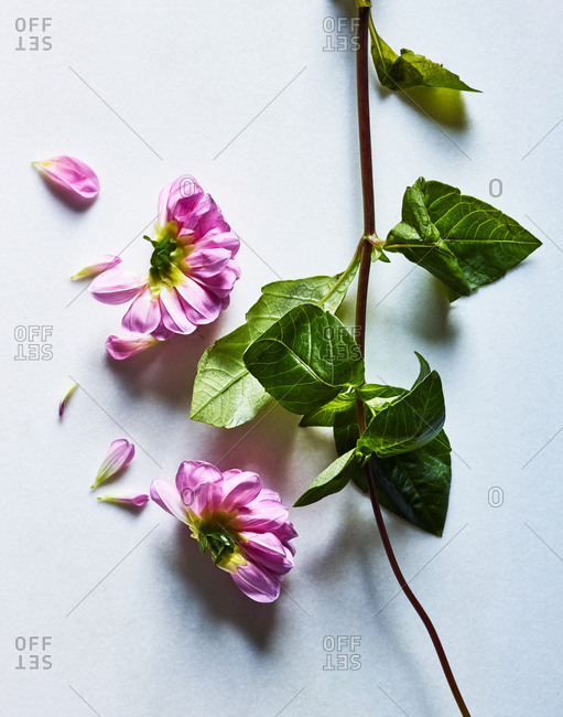 Pink flower and stems on white background