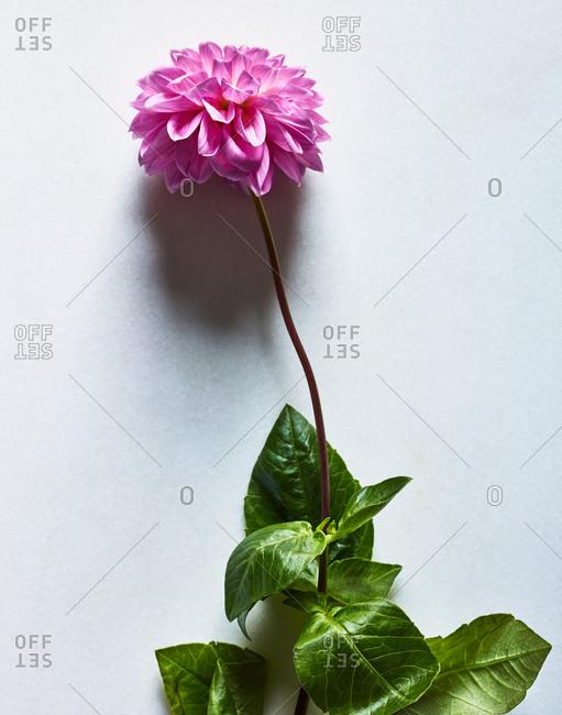 Pink dahlia on white background