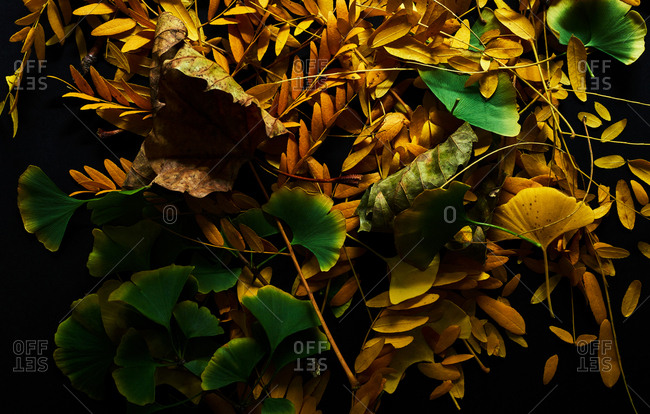 Ginkgo leaves and golden leaves