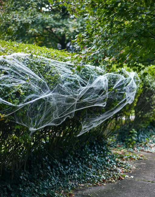 Cobwebs on a bush