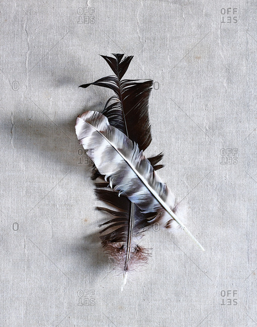 Feathers on gray background