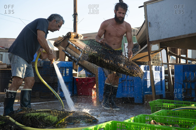 Basile Compan, 30, oyster farmer from Marseillan, Herault, France and his father Guy are cleaning the freshly collected from the sea oysters.