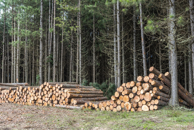 Pine trees cut for logging operations near Sao Jose dos Ausentes in the mountains of Rio Grande do Sul State, South Brazil