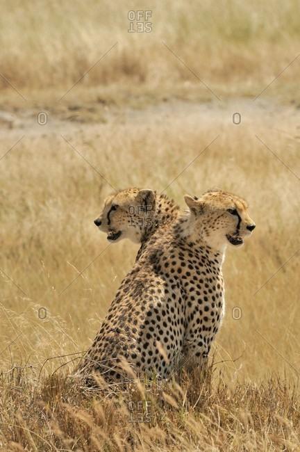 Beautiful nature photograph of two cheetahs���(Acinonyx���jubatus)���sitting in���savannah