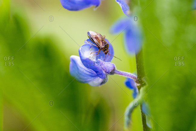 Close-up shot of an insect on a blue lupine flower, Yellowstone National Park, Wyoming, USA