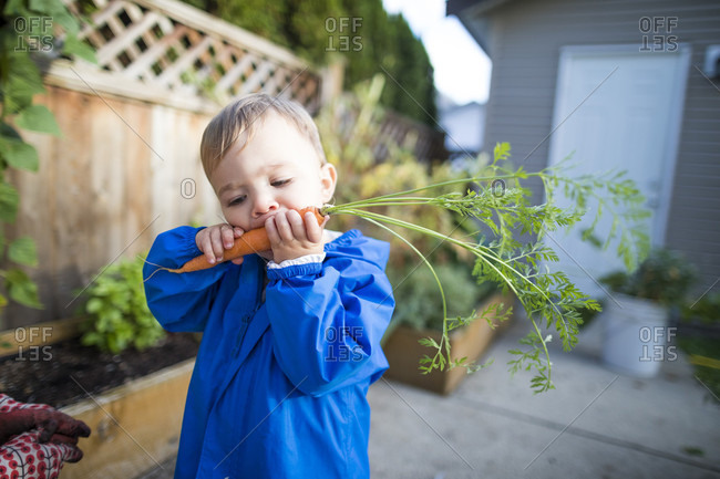 Waist up shot of a baby boy eating a fresh carrot from a backyard vegetable garden