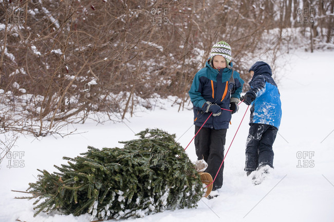 Ten and eight-year old brothers pull a freshly cut Christmas tree from the woods