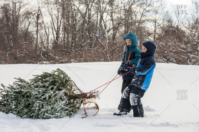 Two brothers pulling freshly cut Christmas tree on sled across snow,���Marblehead, Massachusetts, USA