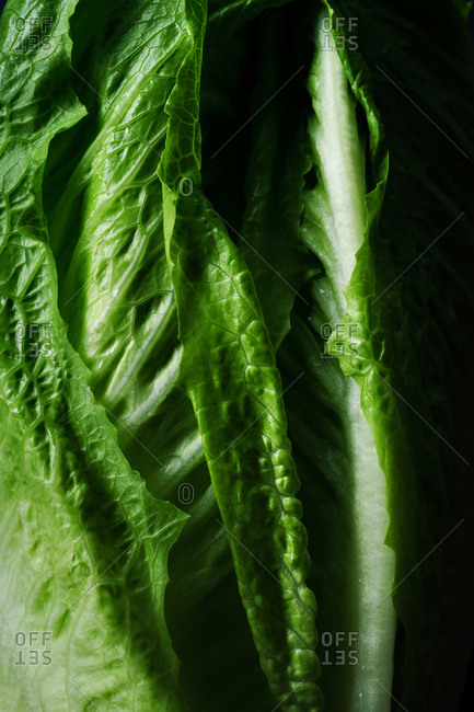 Close up image of romaine lettuce leafs