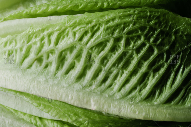 Close up of ribs of romaine lettuce
