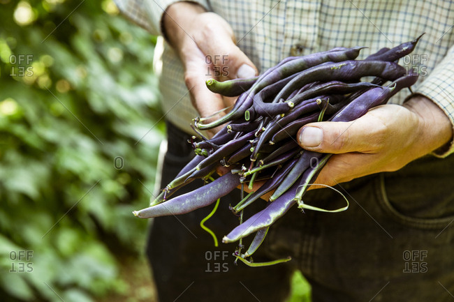 Close up of farmer holding a bunch of purple beans.