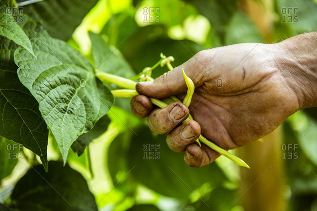 Close up of farmer harvesting yellow beans.