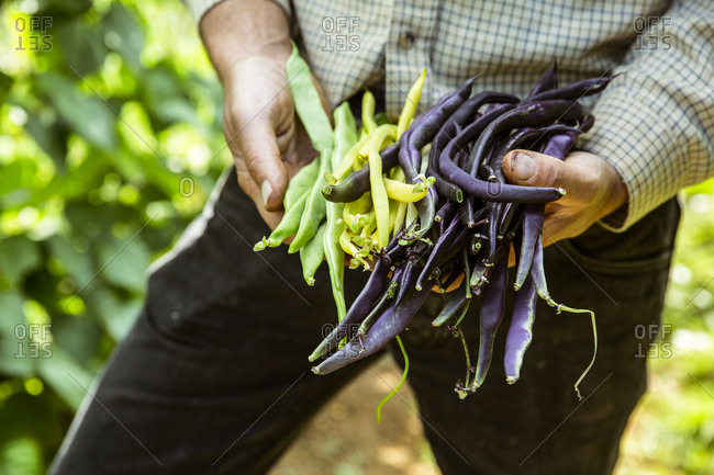 Close up of farmer holding a bunch of green, yellow and purple beans.